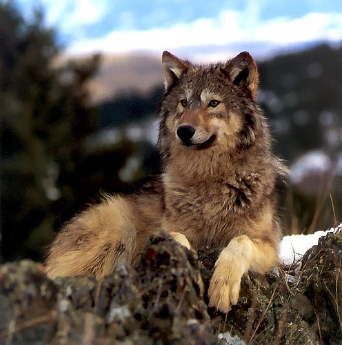 Light brown wolf with blue eyes - photo#21